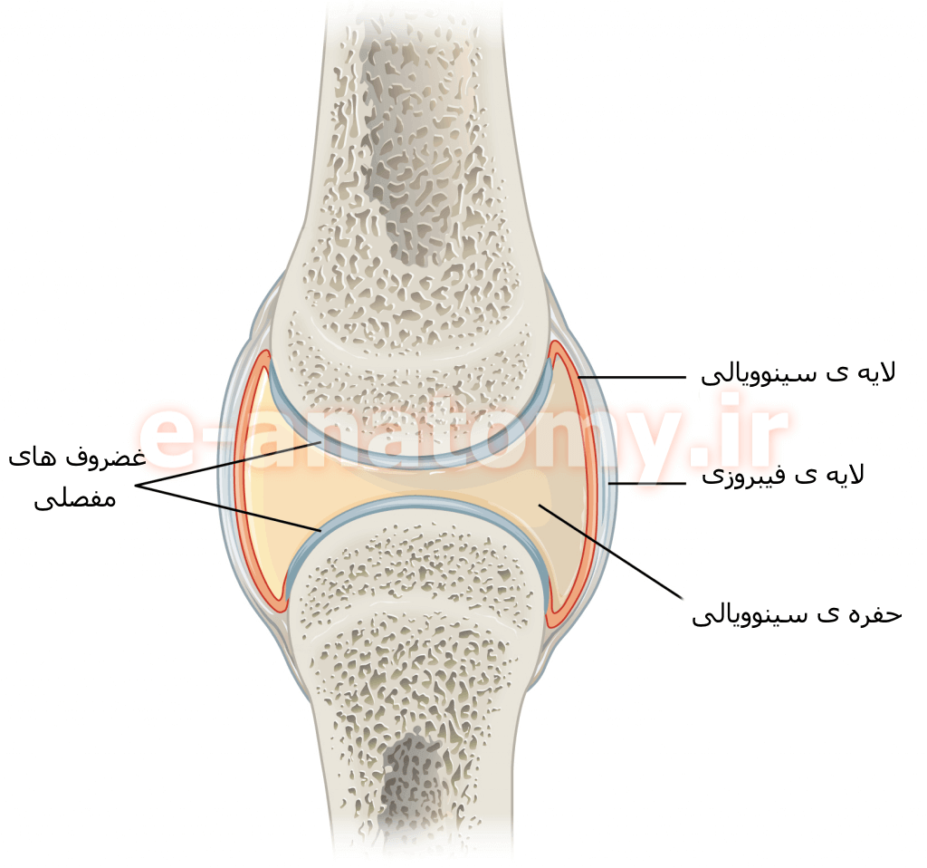 ساختار یک مفصل سینوویال
