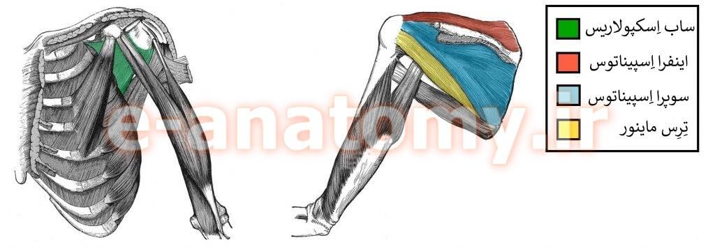 عضلات روتاتور کاف