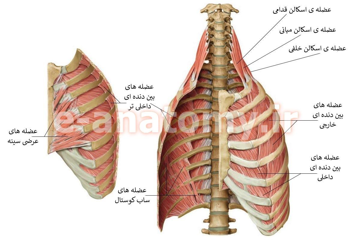 عضله های دیواره ی توراکس