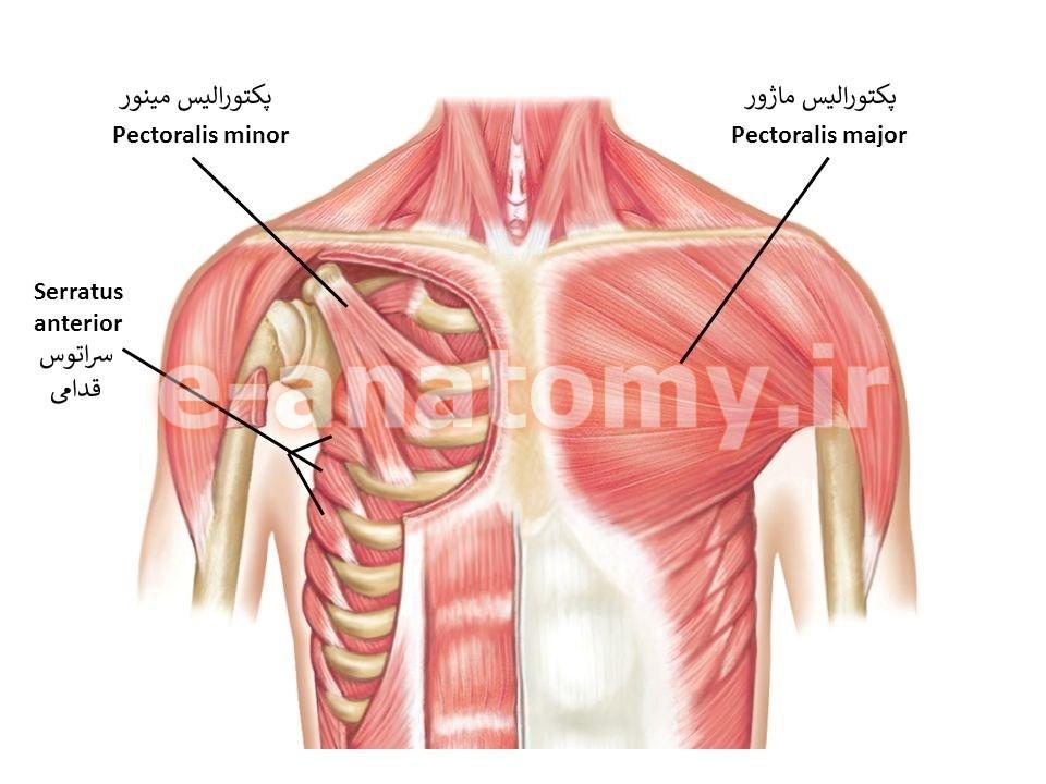 عضله های پکتورالیس و سراتوس قدامی