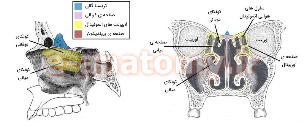 استخوان اتموئید و سینوس ها در حفره ی بینی