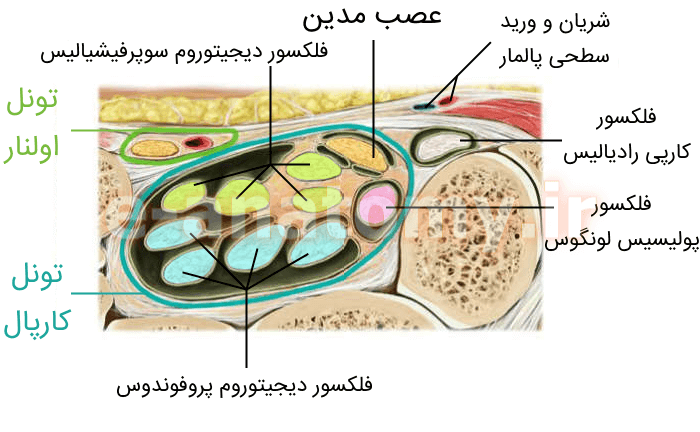 تاندون ها و اعصاب تونل کارپال