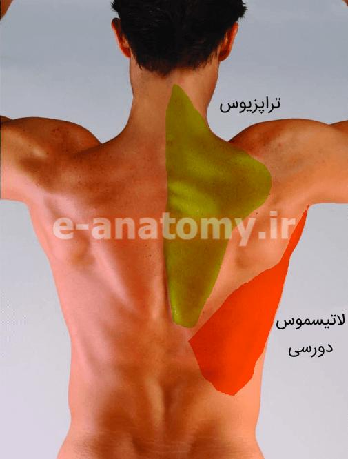 عضلات تراپزیوس و لاتیسموس دورسی