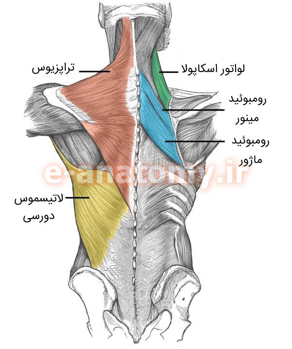 عضله های سطحی پشت