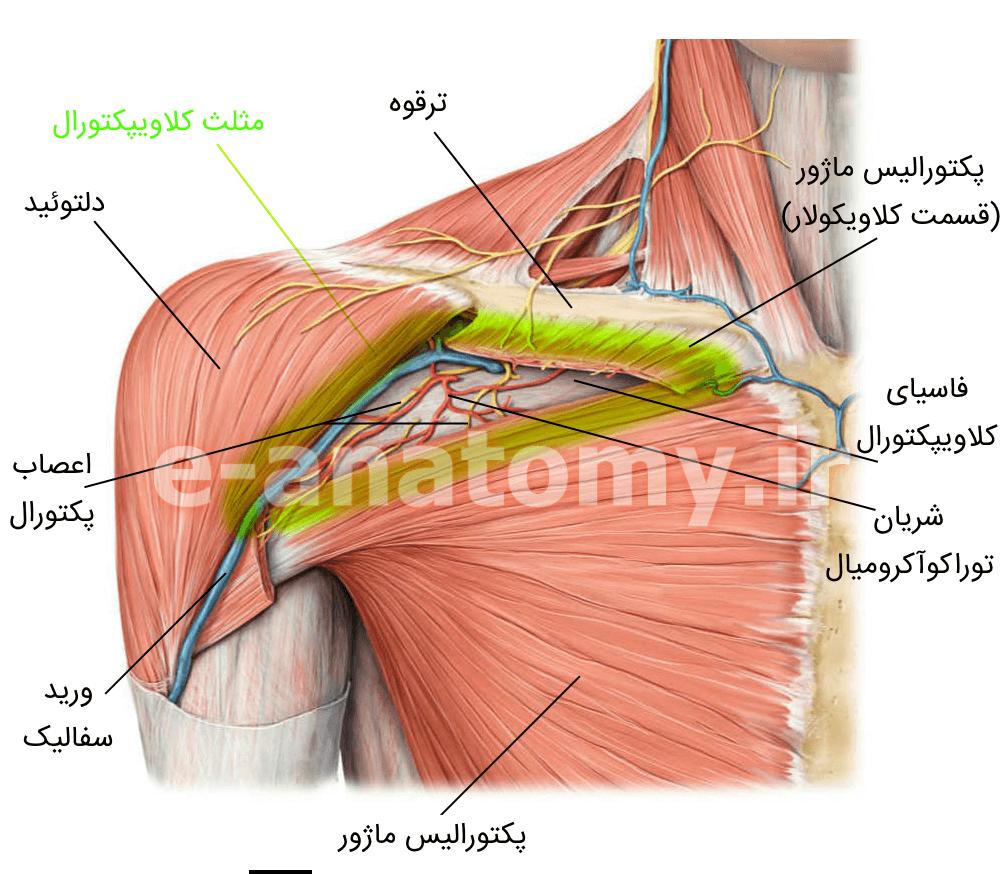 مثلث کلاویپکتورال