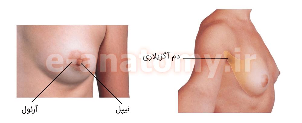 آناتومی سطحی پستان