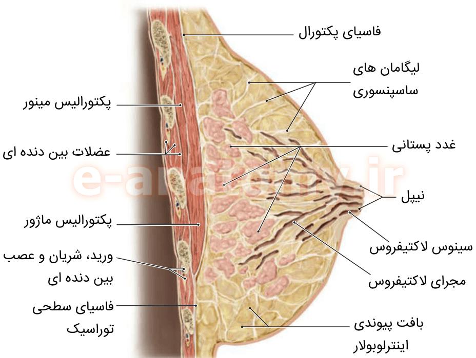 ساختار داخلی پستان