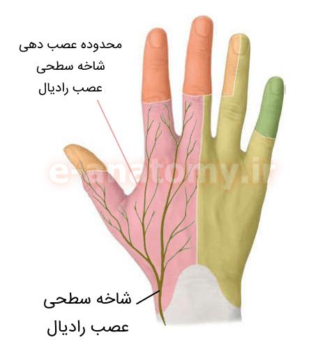 شاخه ی سطحی عصب رادیال و محدوده ی عصب دهی آن
