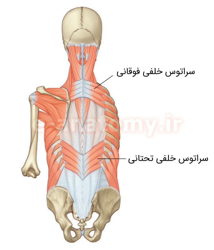 عضلات میانی پشت تنه