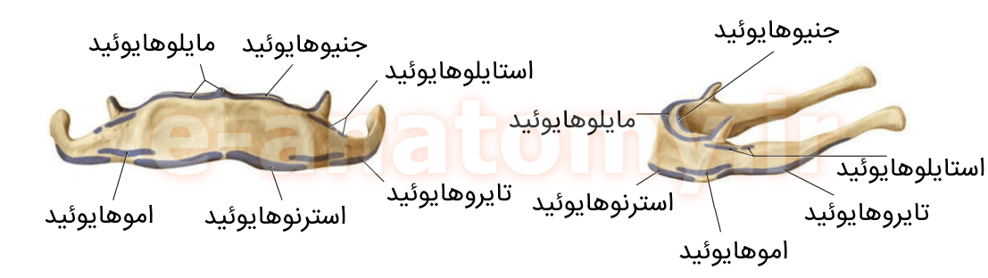 اتصالات عضلانی استخوان هایوئید