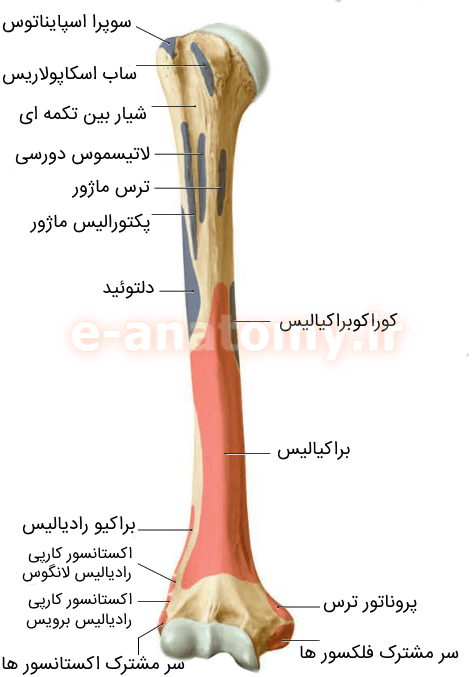 اتصالات عضلانی هومروس