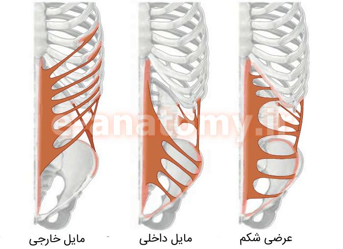 اتصالات عضله های پهن دیواره ی قدامی-خارجی شکم