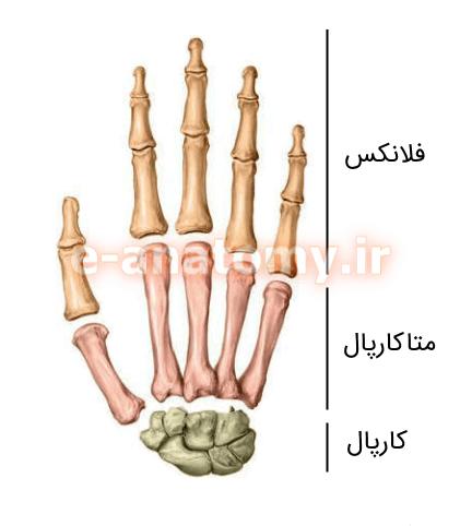استخوان های دست