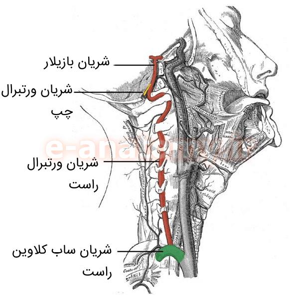 عبور شریان ورتبرال از سوراخ های زوائد عرضی مهره های گردنی