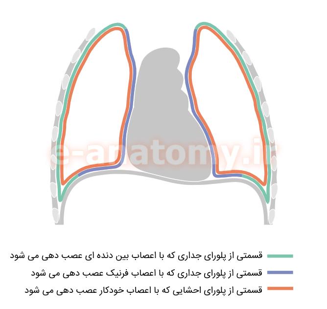 عصب دهی پلورای جداری و احشایی