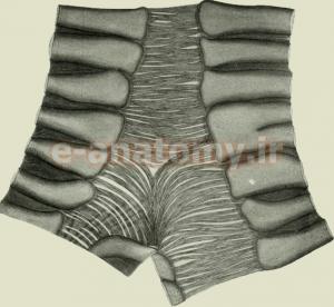 عضله های تراکیالیس