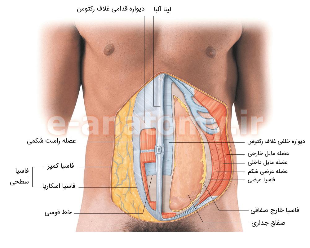 لایه های دیواره ی قدامی-خارجی شکم