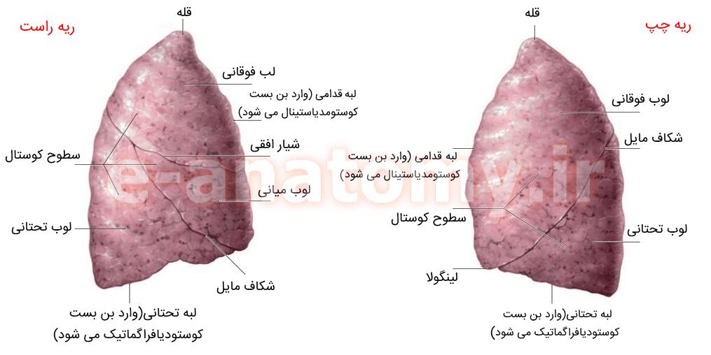 نمای لترال ریه ها