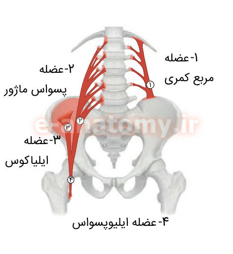 اتصالات عضله های دیواره ی خلفی شکم