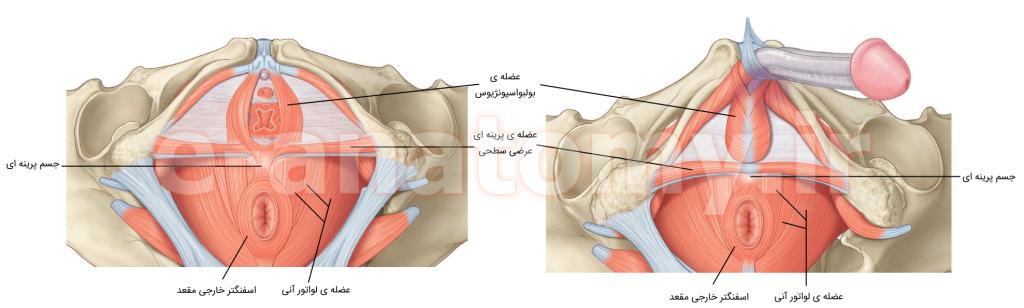 عضله هایی که به جسم پرینه ای متصل می شوند.