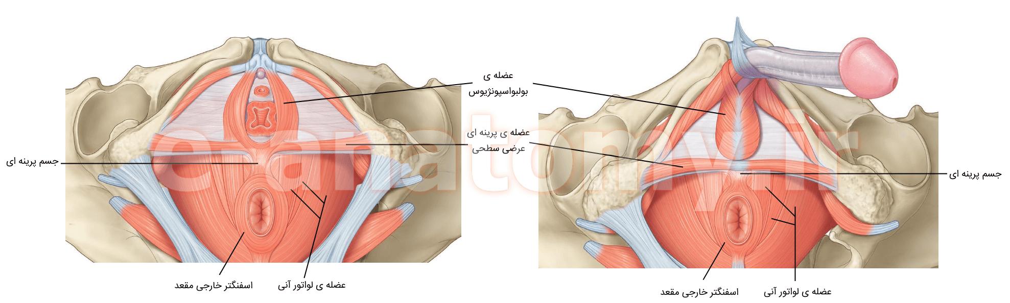 عضله هایی که به جسم پرینه ای متصل می شوند