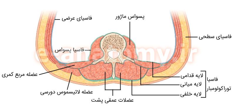 لایه های فاسیای توراکولومبار و فاسیای پسواس