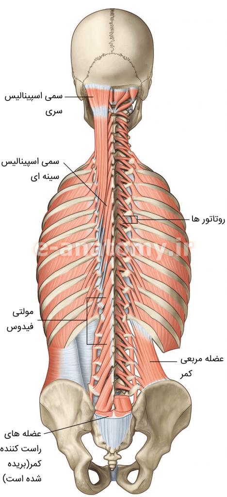 لایه ی عمقی عضله های عمقی پشت