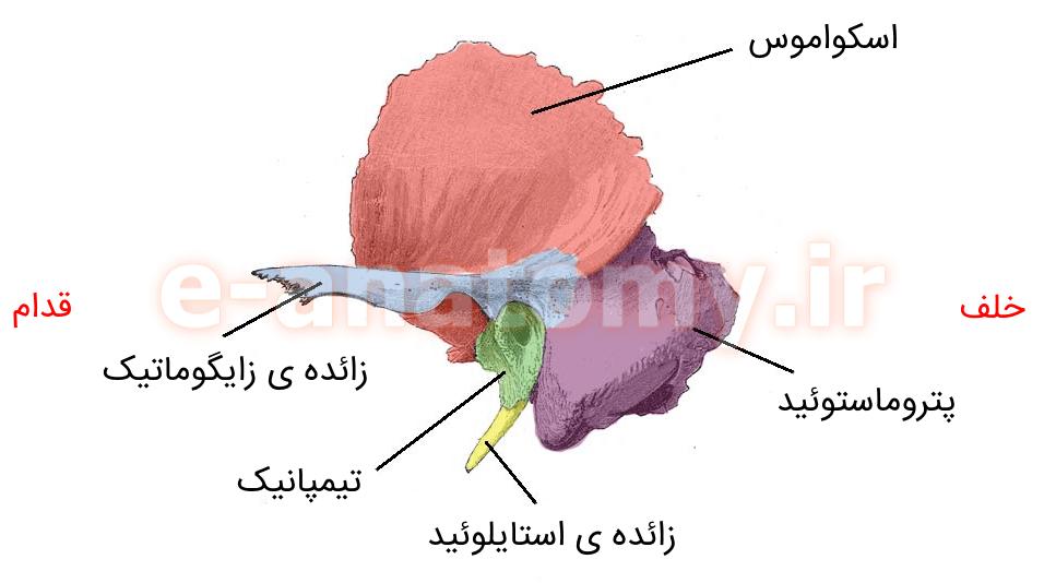 قسمت های مختلف استخوان تمپورال