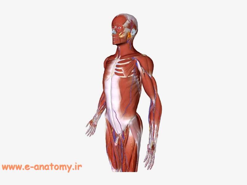 مدل سه بعدی بدن انسان