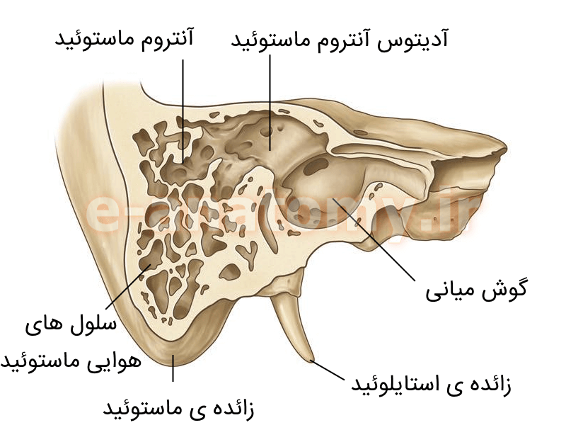 مقطع کرونال استخوان تمپورال و سلول های هوایی ماستوئید