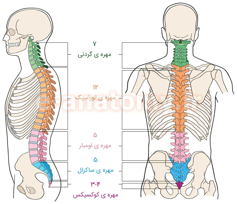 ناحیه های مختلف ستون مهره ها