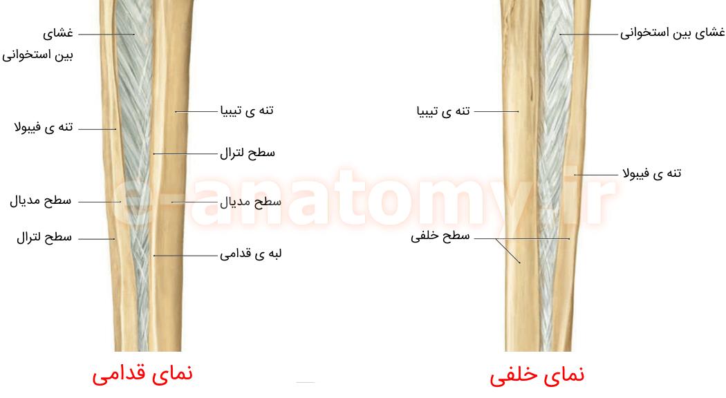 تنه ی استخوان های تیبیا و فیبولا