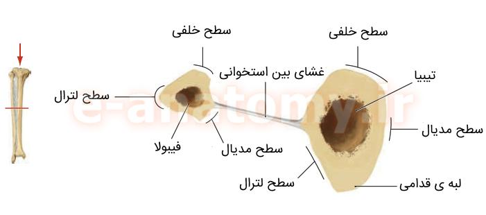 سطوح استخوان های تیبیا و فیبولا