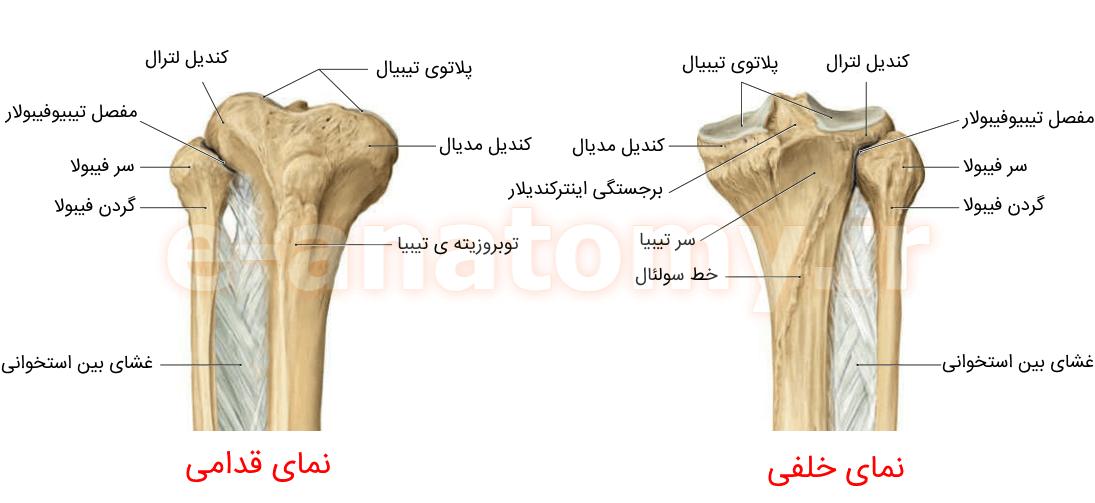 پروگزیمال استخوان تیبیا و فیبولا