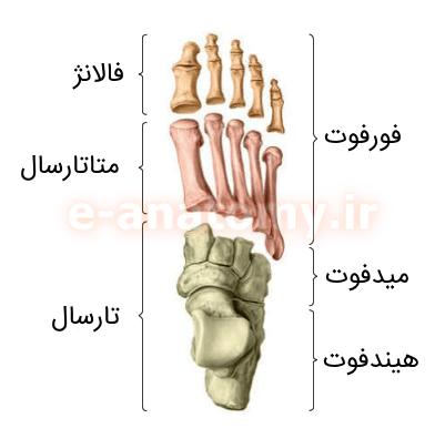 استخوان های تارسال، متاتارسال و فالانژ