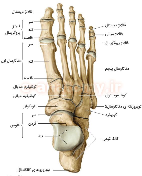 نمای دورسال (فوقانی) استخوان های پا