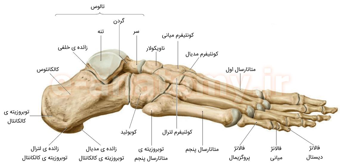 نمای لترال استخوان های پا