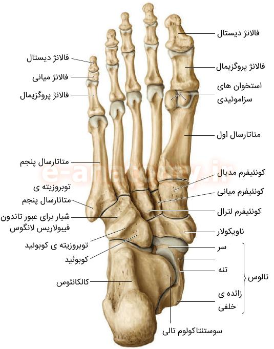 نمای پلانتار (تحتانی) استخوان های پا